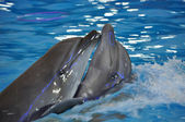Delfines bailando — Foto de Stock