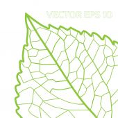 Green leaf with veins — Stock Vector