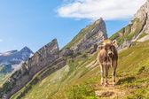 Cow of Alps — Stock Photo