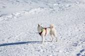 White dog playing tenis ball in snow — Fotografia Stock