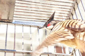 Red-whiskered Bulbul in the birdcage — Stock Photo