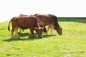 Cows eating grass — Stock Photo