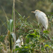 Cattle egret in breeding colonies — Stock Photo #61674565