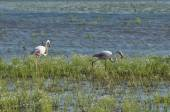 Flamingos, pink birds, feeding in the marshes in the south of Spain. — Stock Photo