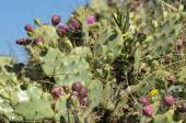 Prickly pear, cactus blooming and fruiting. A freshly buds and fleshy leaves. — Stock Photo