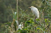 Volavka rusohlavá v chovných kolonií — Stock fotografie