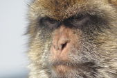 Macaque, monkey portrait, Gibraltar. Boar primates in the wild. — Стоковое фото
