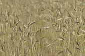 Crop, corn in the ear — Stock Photo