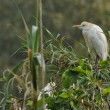Cattle egret in breeding colonies — Stock Photo #61841455