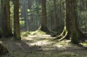 The trunks of the trees in the spruce forest. The rays of the sun breaking through the treetops. — Stock Photo