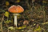 Red toadstool mushroom in the forest while, inedible, poisonous — Stock Photo