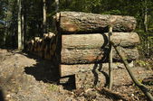 Felling of trees and storage before shipment. Wood cut into pieces. — Stock Photo