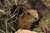 Gopher looking out of the burrow. Danger to life. Central Turkey — Stock Photo
