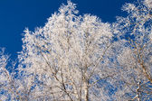 Snow-covered trees against the blue sky — Stock Photo