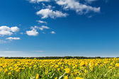 Field of yellow dandelions against the blue sky. — Stock Photo