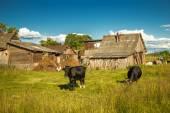 Cows on a farm. — Stock Photo