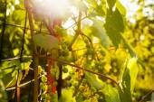 Bunch of white grapes in the setting sun. — Stock Photo