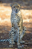 Cheetah Seated — Stock Photo