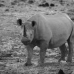 Black Rhino in Etosha National Park — Stock Photo #63220263