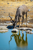 Kudu Drinking — Stock Photo
