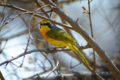 Orange Breasted Bushshrike — Stock Photo