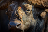 An Oxpecker Perched in a Cape Buffalo's Nose — Stock Photo