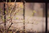 Tree branches with first green leaves in spring garden with window on background — Stock Photo