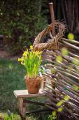 Narcissus flowers on stool near osier willow fence in sunny spring garden — Stock Photo