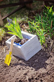 Hyacinth bulbs in wooden box with yellow shovel in spring garden — Stock Photo
