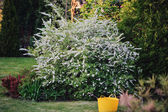 Beautiful blooming spirea bush in summer garden — Stock Photo