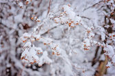 Close up of snowy tree branch in winter garden — Stock Photo
