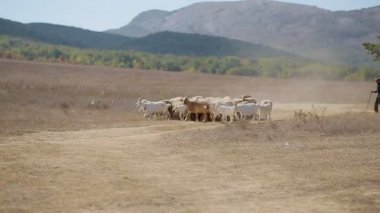 Shepherd feedeth flock of sheep and goats in the meadow — Stock Video