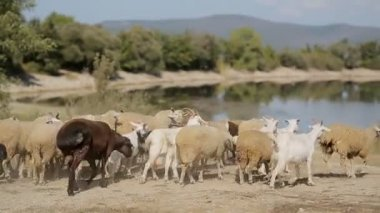 Herd of goats and sheep running to the pond — Stockvideo