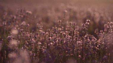 Lavendelfeldes hautnah — Stockvideo