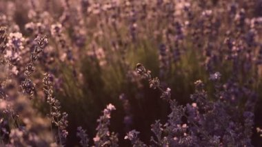 Ladybug sitting on blossoming lavender — Stock Video