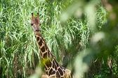 Giraffe in the green brushwood — Stock Photo