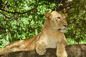 Female lion relaxing on a rock — Stock Photo