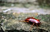 Red Cockroach — Stock Photo