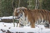 Siberian Amur — Stock Photo