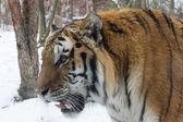 Siberian Tiger- close-up — Stock fotografie