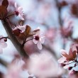 Sakura Series III — Stock Photo #72594525