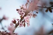 Sakura Series IV — Stock Photo
