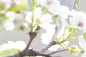 Sakura serii V — Zdjęcie stockowe