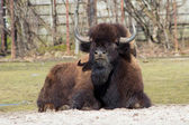 Bisonte americano — Foto de Stock