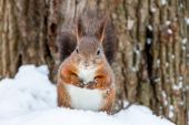 Squirrel eating in the snow — Stock Photo