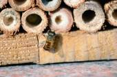 Wild bee in insect shelter — Stock Photo