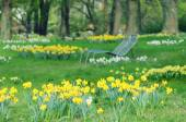 Meadow of daffodil in a park — Stock Photo