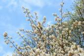 White amelanchier bush in springtime — Stock Photo