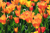 Orange tulips in flowerbed with back lit. — Stock Photo