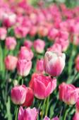 Pink tulips in flowerbed — 图库照片